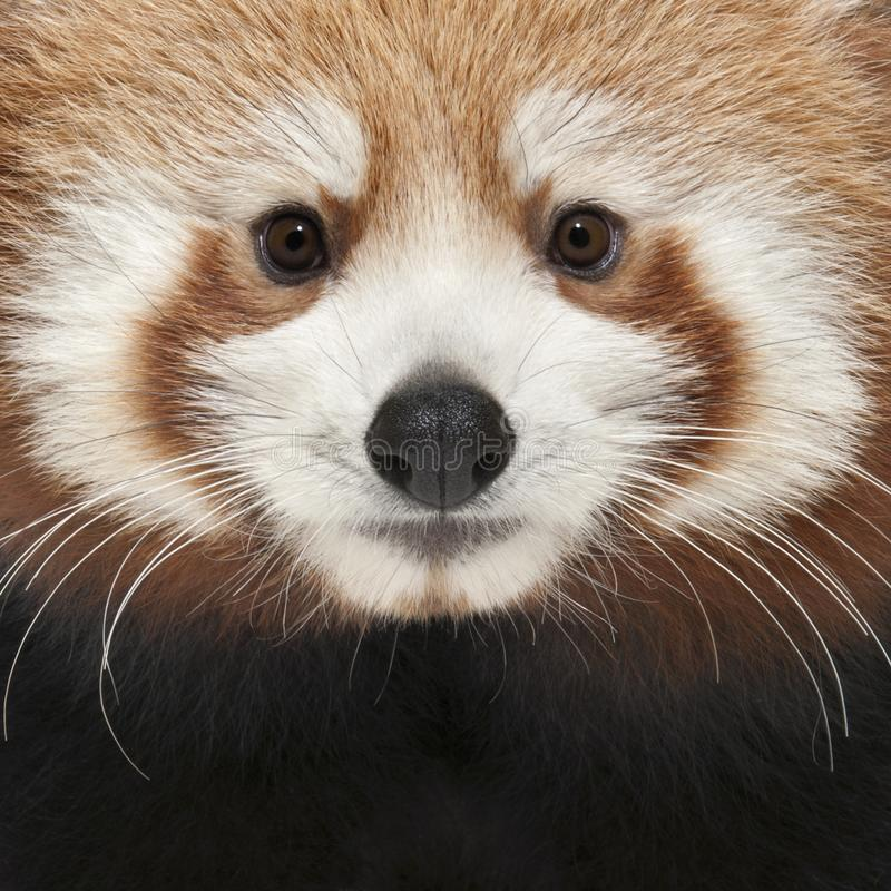 Close-up of Young Red panda or Shining cat, Ailurus fulgens. 7 months old royalty free stock image
