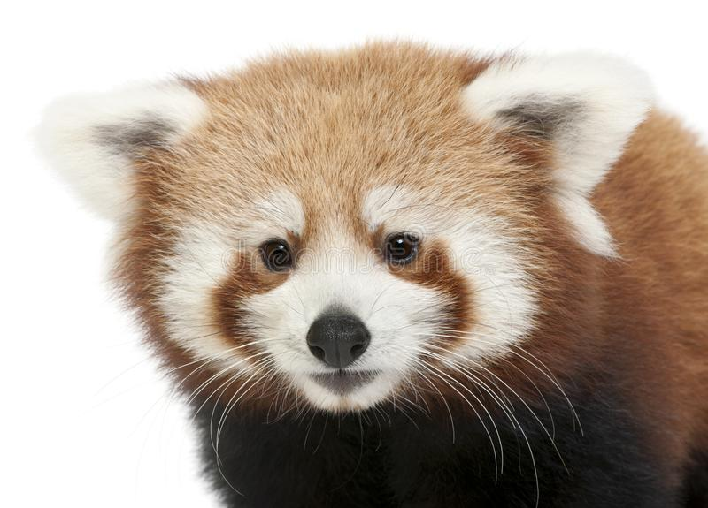 Close-up of Young Red panda or Shining cat, Ailurus fulgens, 7 months old. In front of white background royalty free stock image