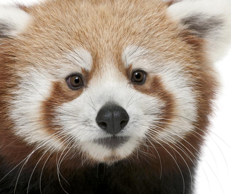 Close-up of Young Red panda or Shining cat, Ailurus fulgens, 7 months old. In front of white background stock image