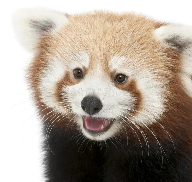 Close-up of Young Red panda or Shining cat, Ailurus fulgens, 7 months old. In front of white background royalty free stock photos