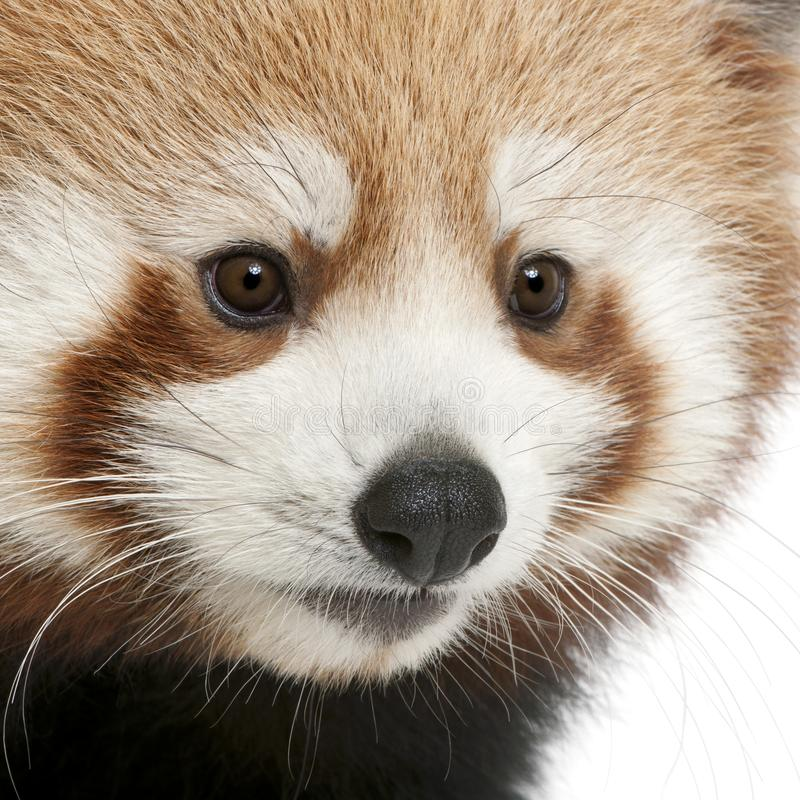 Close-up of Young Red panda or Shining cat, Ailurus fulgens, 7 months old. In front of white background stock photography