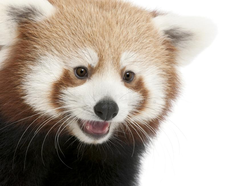Close-up of Young Red panda or Shining cat, Ailurus fulgens, 7 months old. In front of white background royalty free stock images