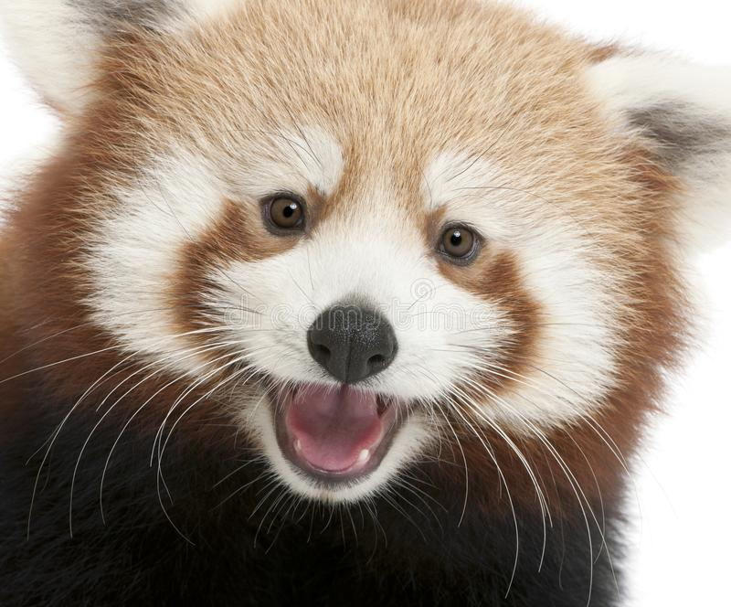 Close-up of Young Red panda or Shining cat, Ailurus fulgens, 7 months old. In front of white background royalty free stock photography