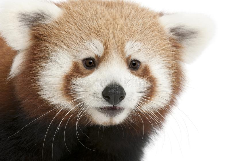 Close-up of Young Red panda or Shining cat, Ailurus fulgens, 7 months old. In front of white background royalty free stock photo