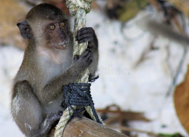 Close up of young sandy crab eating long tailed Macaque Macaca fascicularis swing on a rope on beach royalty free stock photo
