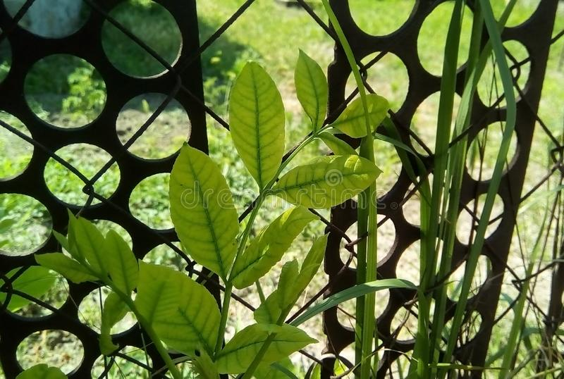 Close-up of a young shoot with green leaves on the background of a metal grid with iron stripes. stock photo