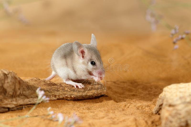 Close-up young spiny mouse  eats on the  snag. stock images