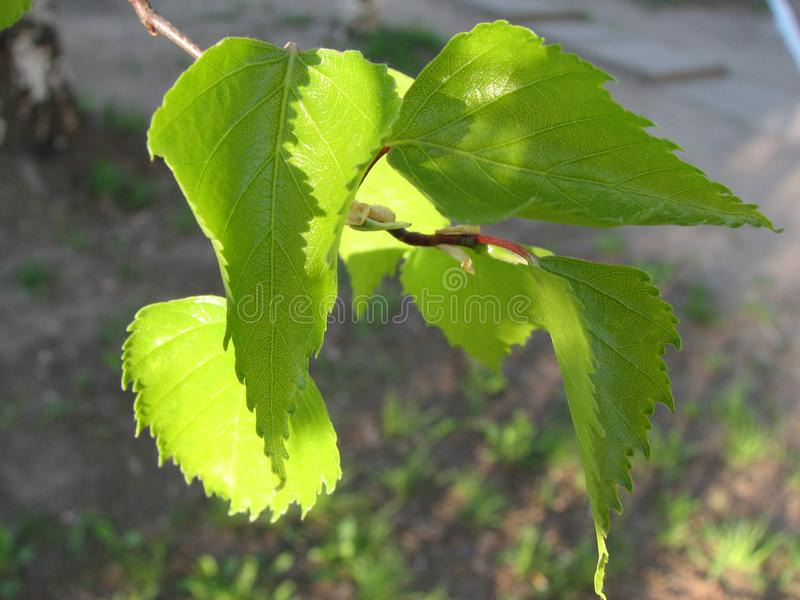 Close-up of young tender birch leaves of light green color in the sunlight on a blurred background stock images