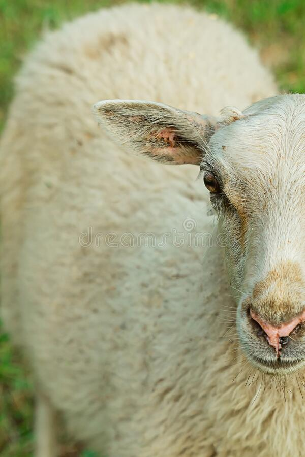 Close-up of a young white furry sheep standing in a meadow grazing livestock royalty free stock image