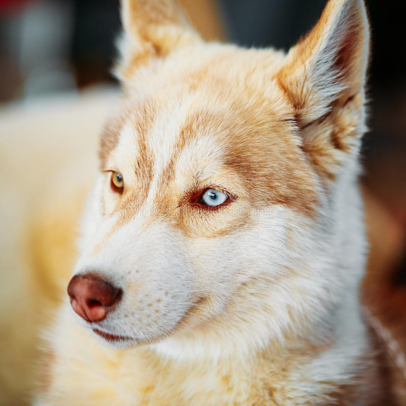 Close Up Young White And Red Husky Puppy Dog stock photography