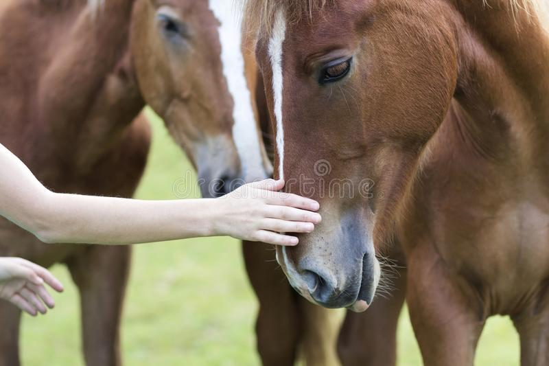 Close-up of young woman hand caressing beautiful chestnut horse head on blurred green sunny summer background. Love to animal, car. E, tenderness, friendship royalty free stock photography