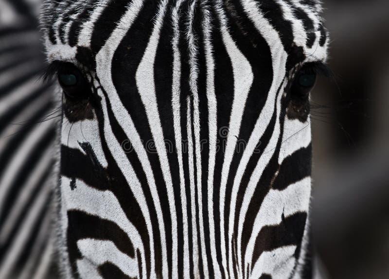 Close up zebra stock photos