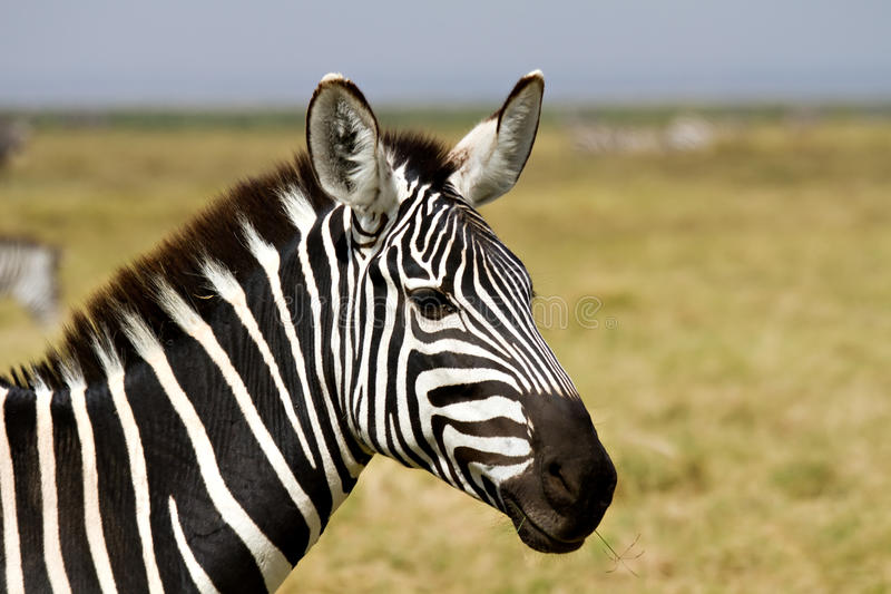 Close-up of a Zebra stock images