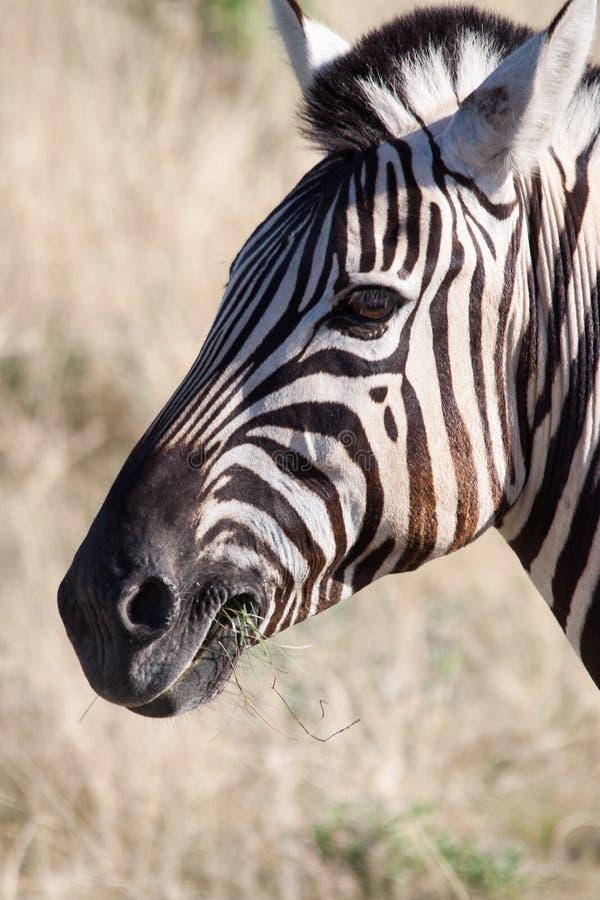 Close-up of Zebra Feeding in Etosha National Park, Namibia. Africa royalty free stock image