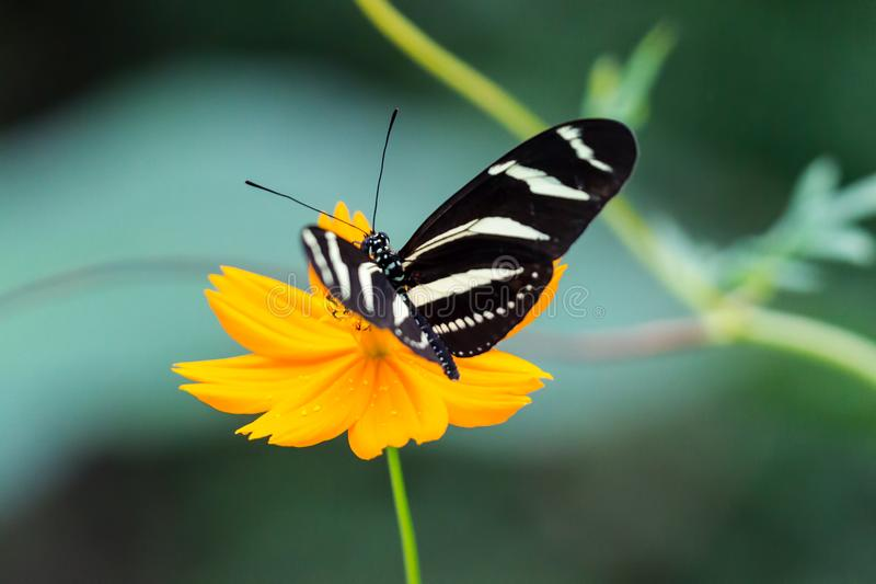 Zebra Longwing, Heliconius Charitonia, Butterfly - Costa Rica stock photos