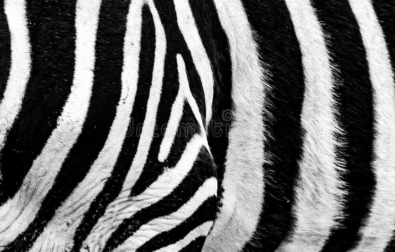 Close up of zebra skin. Close up of patterns in black and white of zebra skin royalty free stock images