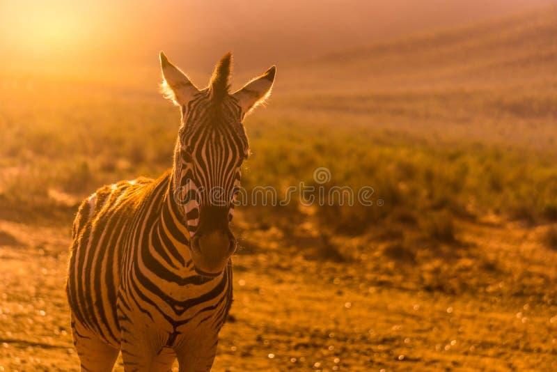 Close up of Zebra royalty free stock photo