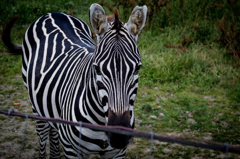 Close-up of a Zebra royalty free stock photography