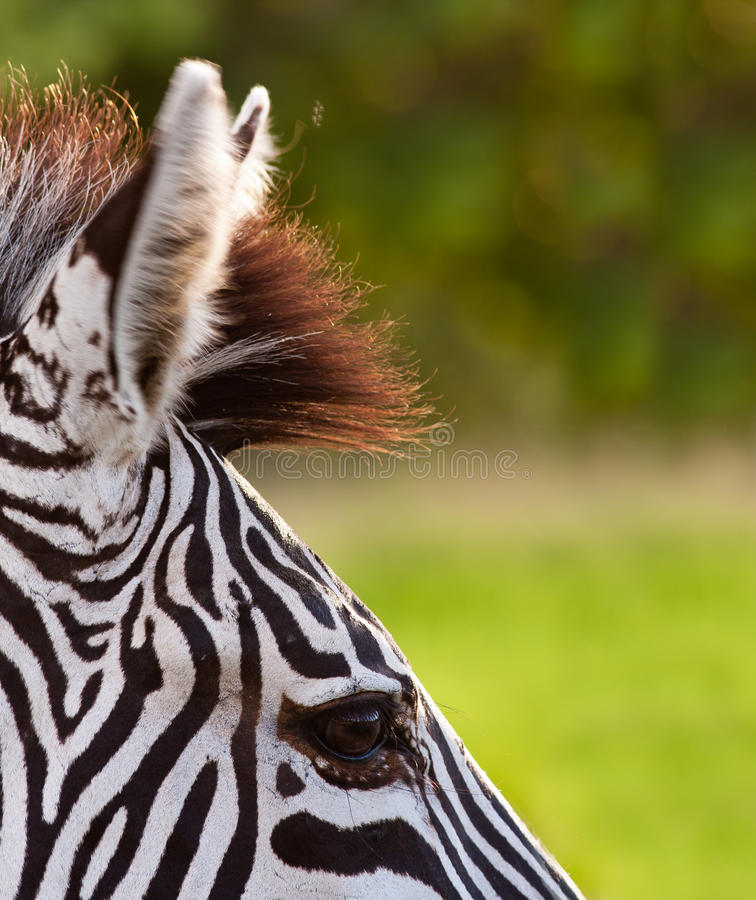 Close up of a Zebra royalty free stock images