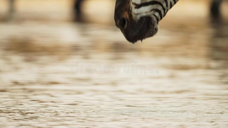 Close Up of Zebras Head Drinking Water at Watering Hole. Beautiful nature concept royalty free stock images