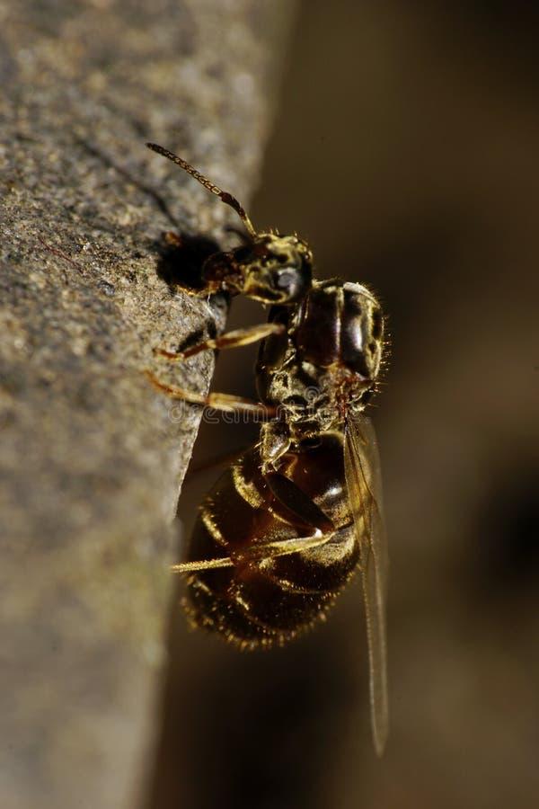 Close-up zijaanzicht van Kaukasische verticaal van een gevleugelde mier stock fotografie