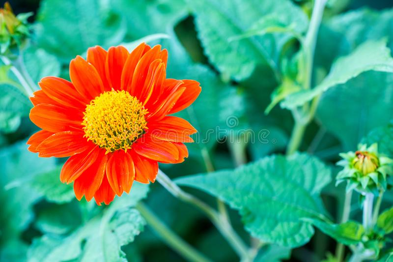 Close up zinnia, dahlia flower background, wallpaper, nature flower vivid color for backdrop. stock photography