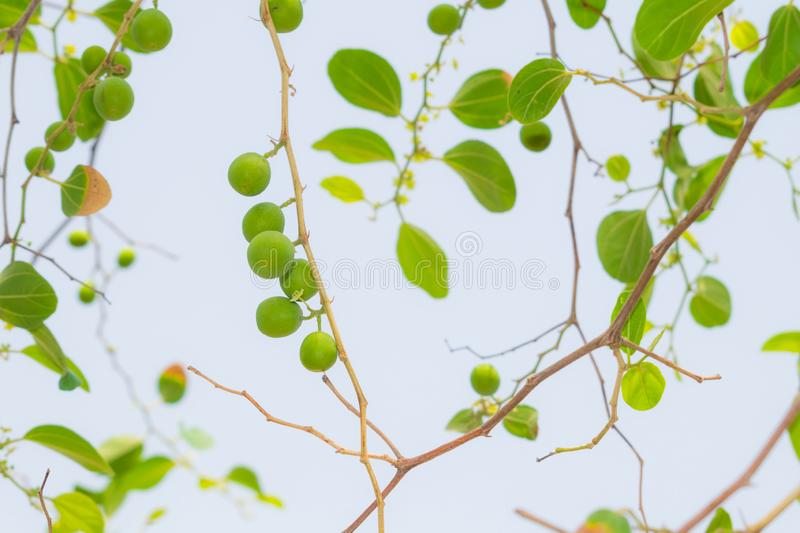 Close up of ziziphus jujube fruit and leaves. With white background royalty free stock images