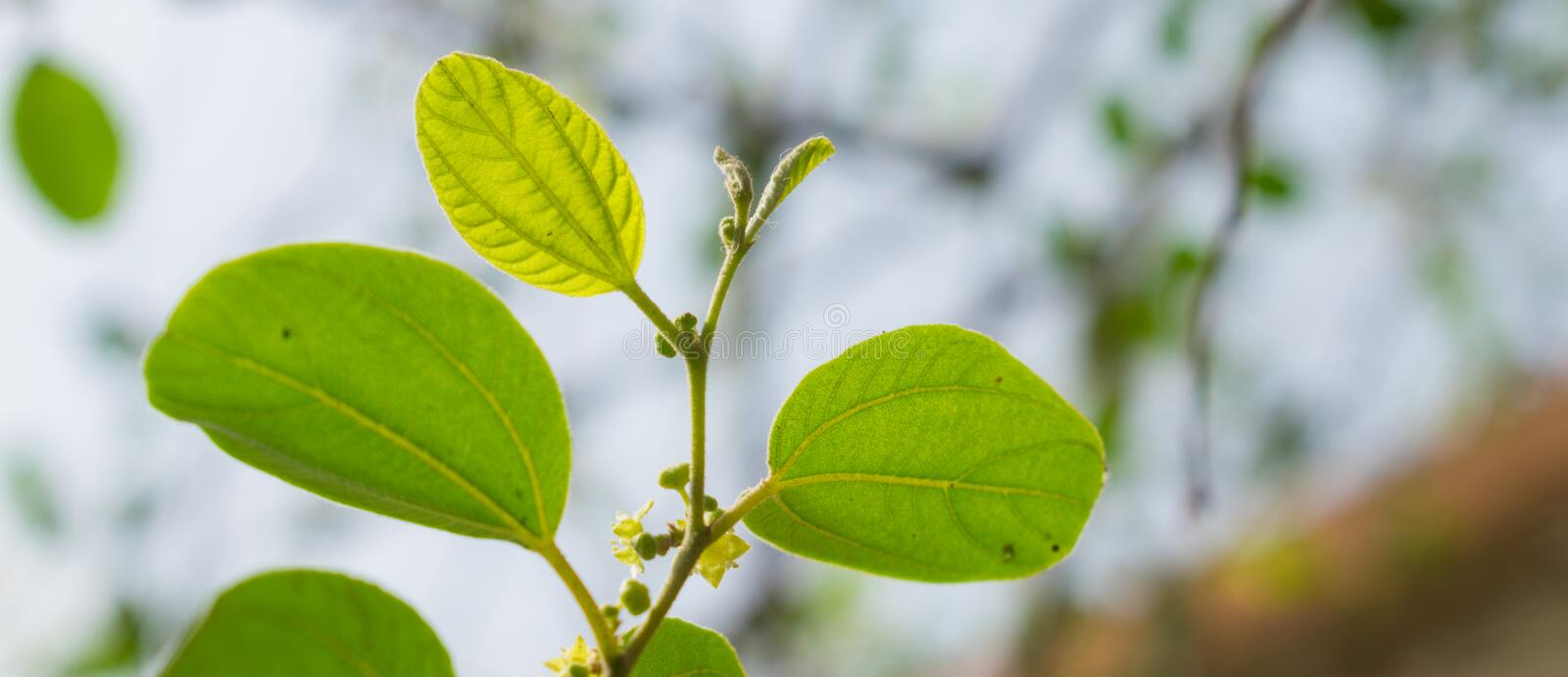 Close up of ziziphus jujube leaves stock images