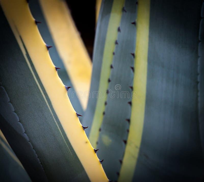 Close-upbeeld van de installatie van de agavecactus stock foto's