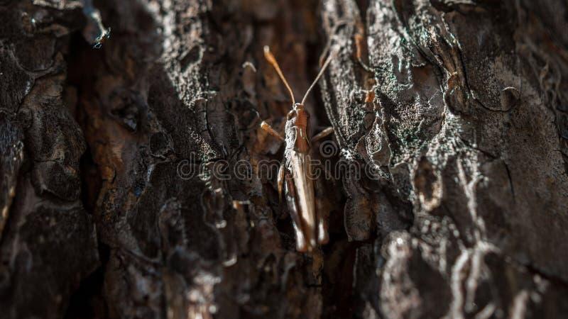 Close-upbeeld van een bruine sprinkhaan die in de schors van de pijnboomboom op een hete zonnige de zomerdag verbergen stock afbeeldingen