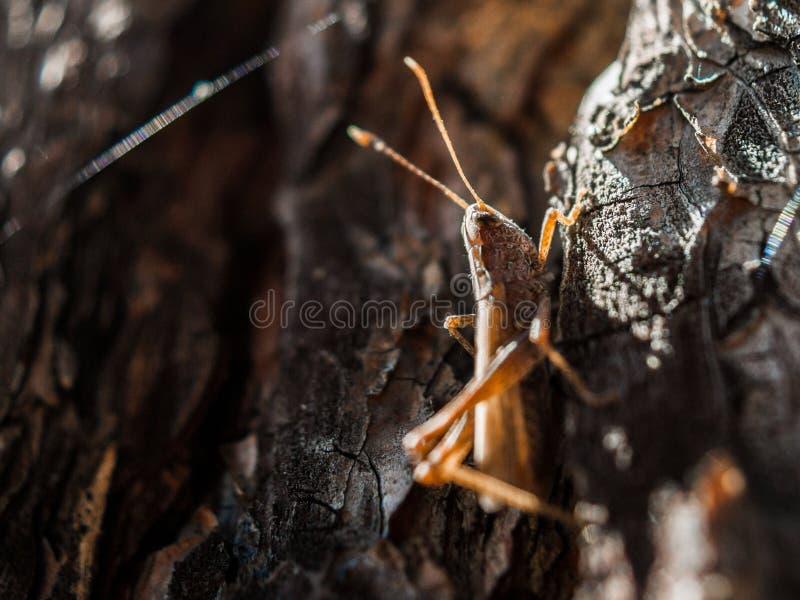 Close-upbeeld van een bruine sprinkhaan die in de schors van de pijnboomboom op een hete zonnige de zomerdag verbergen royalty-vrije stock afbeeldingen
