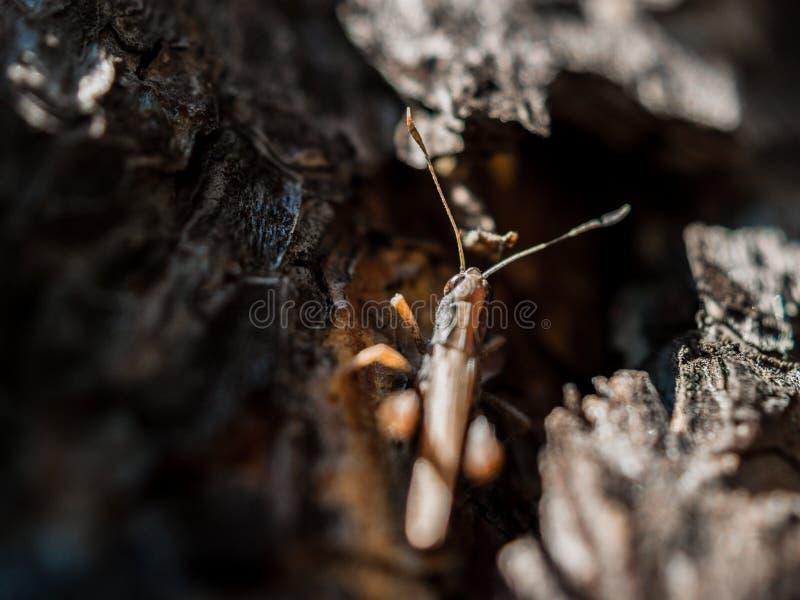 Close-upbeeld van een bruine sprinkhaan die in de schors van de pijnboomboom op een hete zonnige de zomerdag verbergen royalty-vrije stock afbeelding