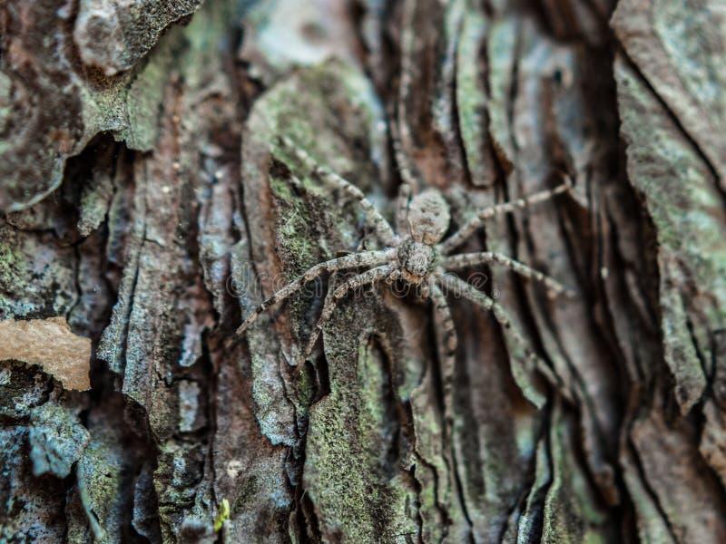 Close-upbeeld van een harige spin die op de bemoste schors van de pijnboomboom op een de zomerdag verbergen royalty-vrije stock afbeelding