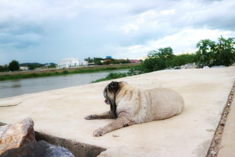 Close-upbeeld van een leuke oude Pug hond die op een openluchtcementvloer liggen Ontspannen stemming stock afbeeldingen