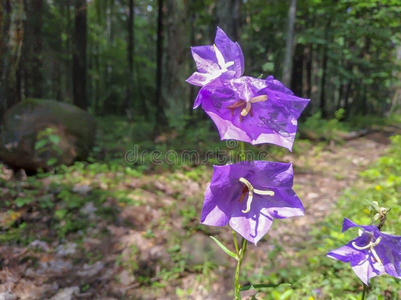 Close-upbeeld van eerste de lentebloemen die groeiend in de bos twee blauwe bloemen close-upmening tot bloei kom stock afbeelding