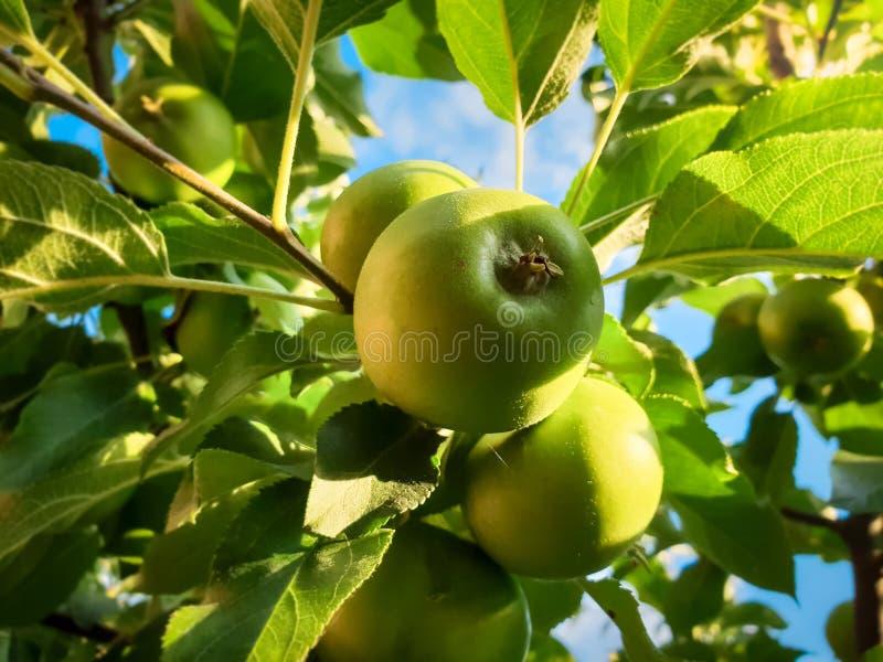 Close-upbeeld van het mooie groene appel groeien op boomtak in archard tegen blauwe hemel bij zonnige dag royalty-vrije stock afbeelding