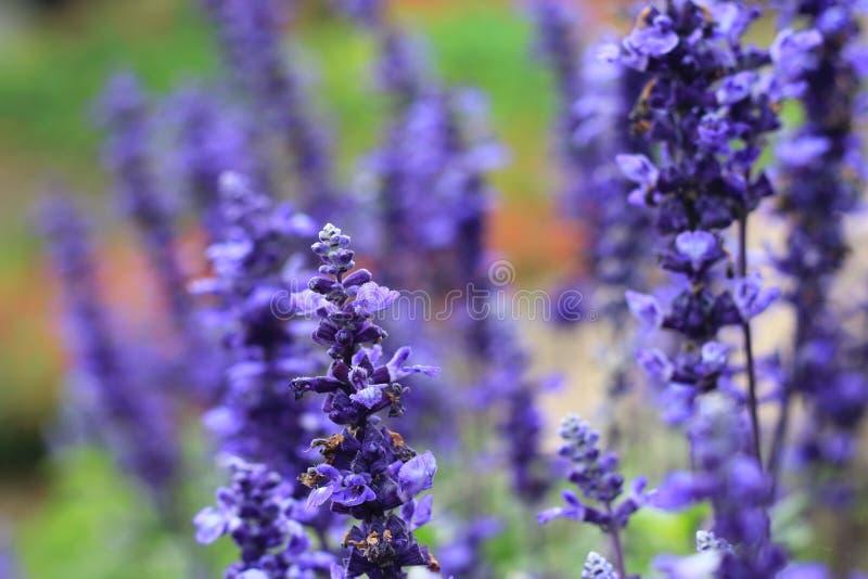 Close-upbeeld van violette lavendelbloemen royalty-vrije stock afbeelding
