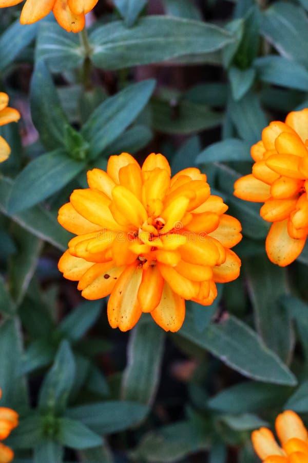 Close-upbeelden van mooie gele bloemen, de donkergroene achtergrond van de bladerenaard, koele tijd stock foto's
