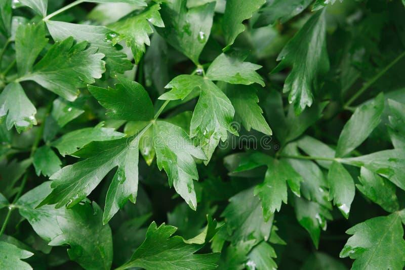 Close-upbladeren van peterselie, groene achtergrond royalty-vrije stock foto's