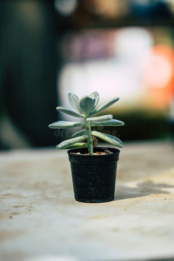 Close-upcactus in een leuke pot, Vage achtergrond stock afbeeldingen