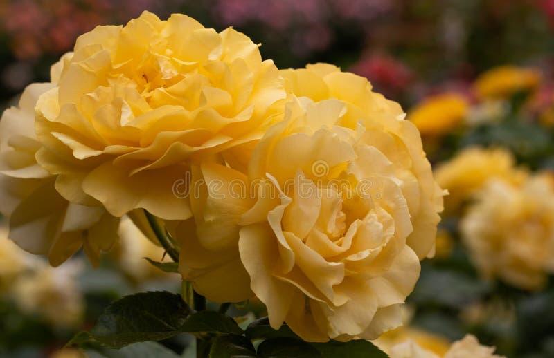 Close-upcluster van gele hybride floribundarozen van Julia Child in selectieve nadruk met kleurrijke roze tuin op achtergrond stock afbeelding