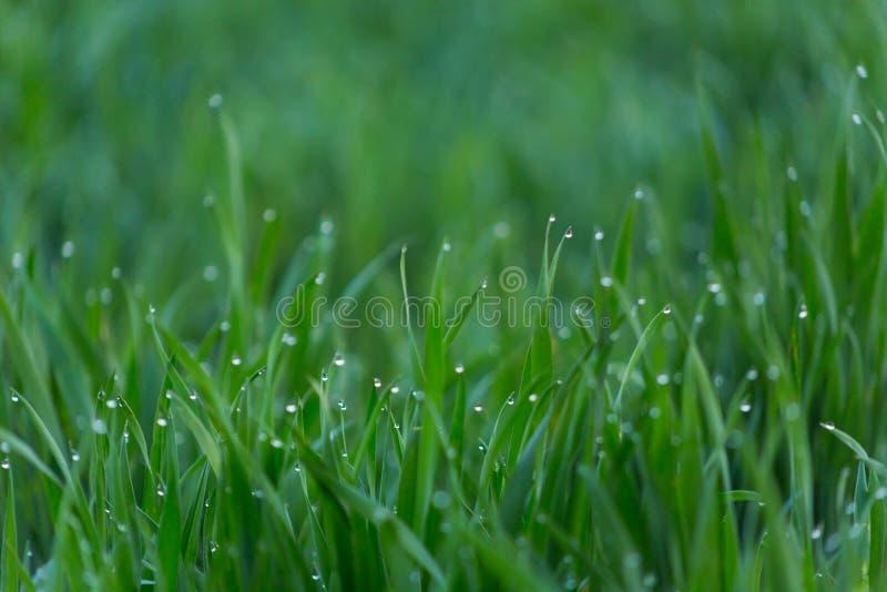 Close-updalingen van dauw op jong vers groen gras royalty-vrije stock fotografie