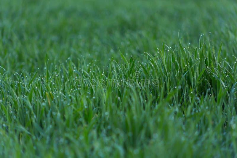 Close-updalingen van dauw op jong vers groen gras royalty-vrije stock afbeelding