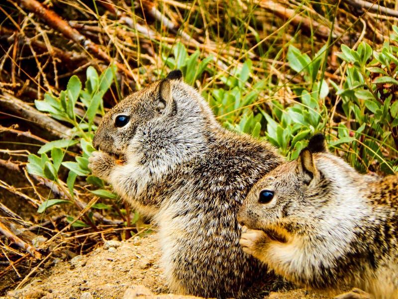 Close-upfoto van 2 Eekhoorns royalty-vrije stock afbeeldingen