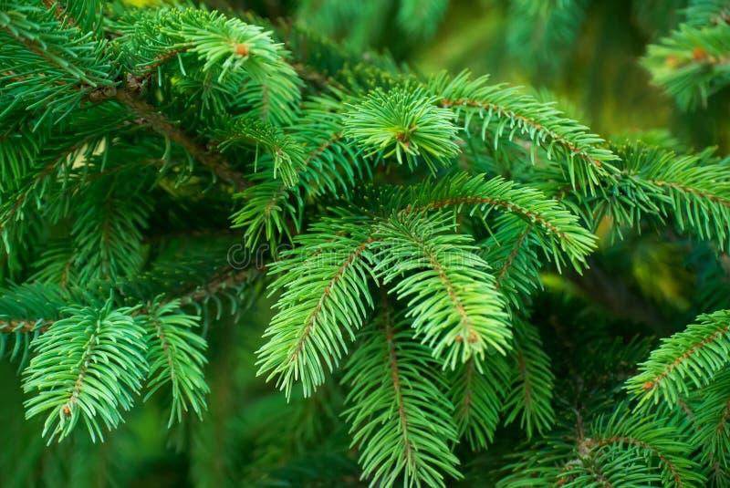 Close-upfoto van kleurrijke groene takken van sparren royalty-vrije stock afbeelding