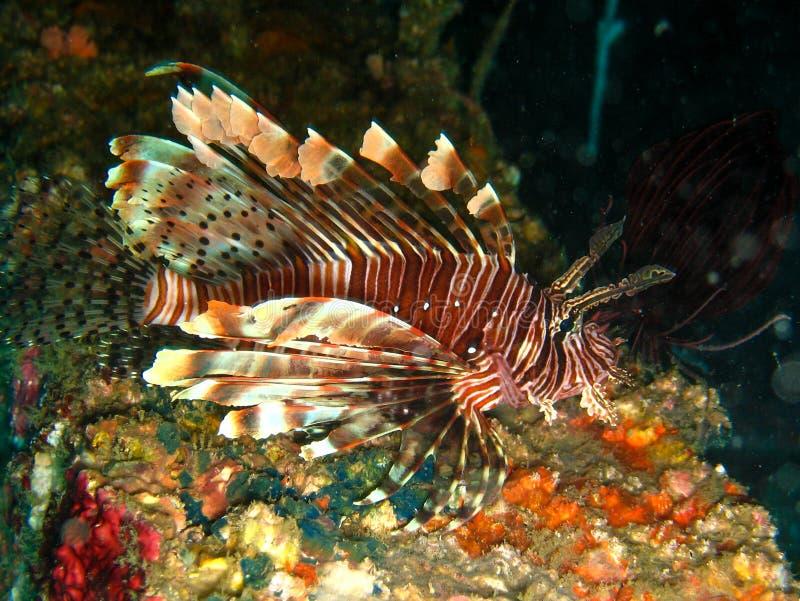 Close-upfoto van leeuw-vissen bij nacht met vleeslichten Het ` s op de kleurrijke koraalachtergrond royalty-vrije stock afbeeldingen