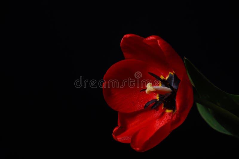 Close-upfoto van rode tulp met dauwdalingen op bloemblaadjes van bloem  stock fotografie