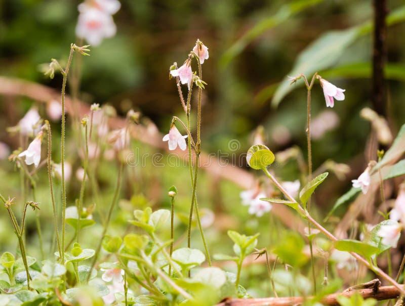 Close-upfoto van twinflowers (Linnea-borealis) in een Noords bos royalty-vrije stock afbeelding