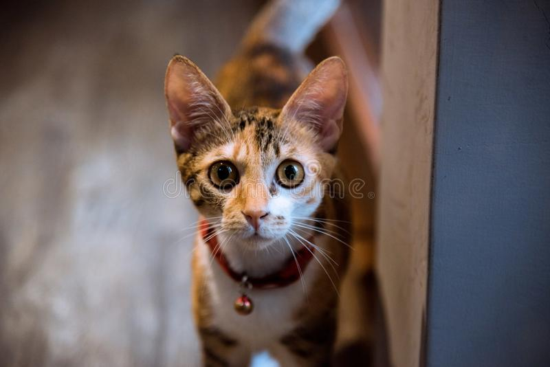 Close-upfotografie van Bruine Tabby Cat With Bell op Hals stock foto