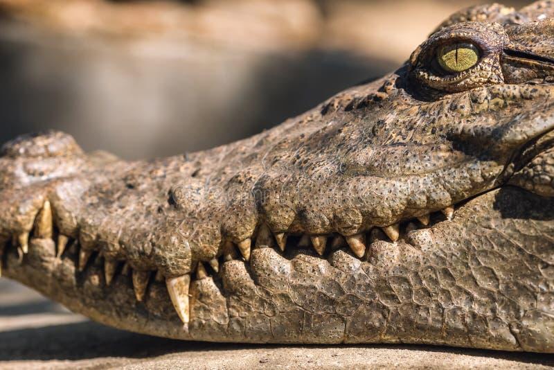 Close-uphoofd van een krokodil royalty-vrije stock fotografie